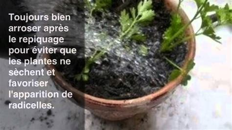 faire pousser du c 233 leri en pot