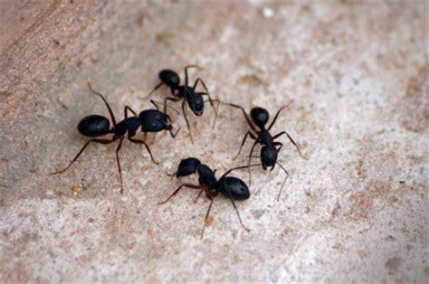 comment se d 233 barrasser des fourmis r 233 pulsifs et m 233 thodes pratique fr