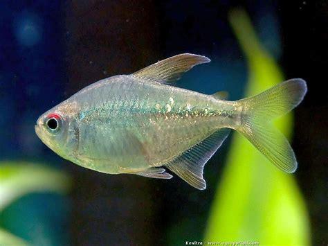 fiche poisson aquarium eau douce