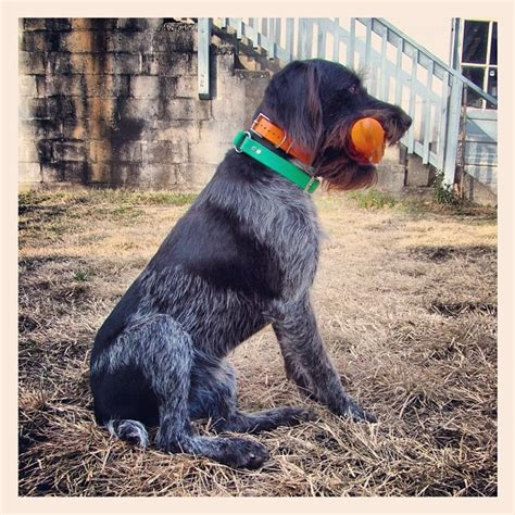 17 best images about german wirehaired pointer on the run and 7 months