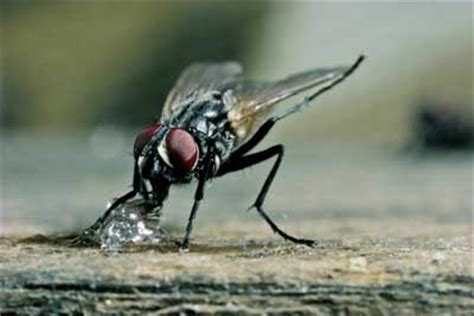 Housefly Diet Howstuffworks