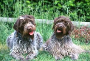 wired haired breed of breeds picture