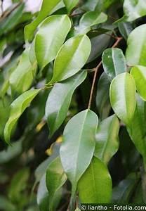 Zimmerpflanze Lange Grüne Blätter : birkenfeige ficus benjamini zimmerpflanze pflegen d ngen schneiden ~ Markanthonyermac.com Haus und Dekorationen