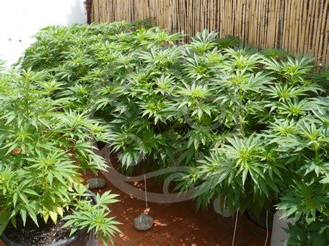 cultiver du cannabis en ext 233 rieur philosopher seeds
