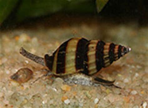 club d aquariophilie de st amand les eaux les escargots