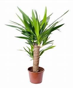 Palmen Für Die Wohnung : palmlilie yucca palme gelbe und braune bl tter ~ Markanthonyermac.com Haus und Dekorationen
