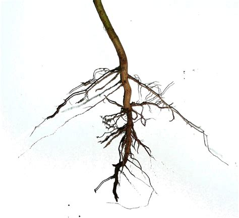 Filedicotyledoneae Asteraceae Herb  Root System, Primary