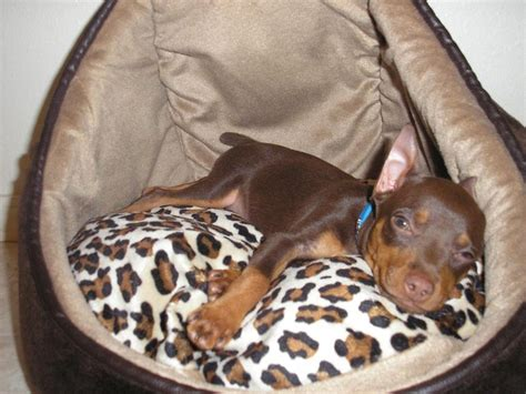 Do Miniature Pinschers Shed by 166 Best Images About Chocolate Minpins On