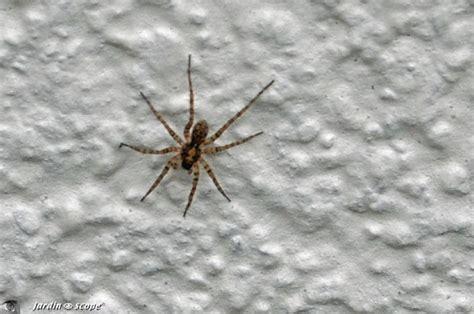 une araign 233 e loup qui porte ses œufs dans un sac le jardinoscope toute la vie animale de nos