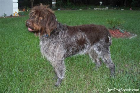 wire haired breeds breeds picture
