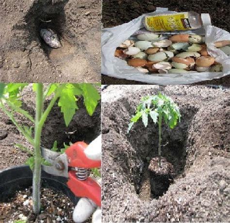 comment planter correctement les tomates pour obtenir des planter des tomates cerises en pot
