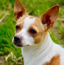 Rat Terrier Shedding Help by View Ad Rat Terrier For Adoption Atlanta
