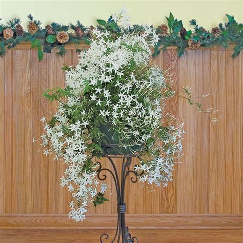 winter jasminum polyanthum