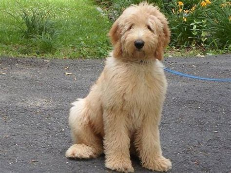 next goldendoodles litter tlc by the lake standard