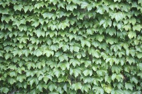 The Best Evergreen Vines  Ehow Uk