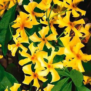 Kletterpflanzen Immergrün Winterhart : toskanischer sternjasmin online kaufen bei ahrens sieberz ~ Markanthonyermac.com Haus und Dekorationen