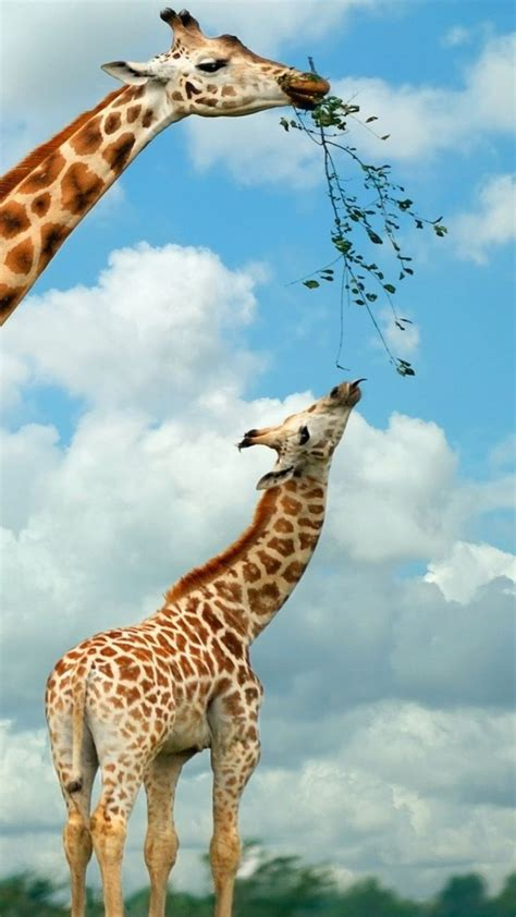 240 Best Images About Animal  Giraffe On Pinterest  Africa, Giraffe Photos And Giraffe Art