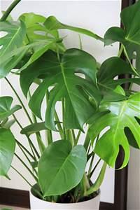Zimmerpflanze Lange Grüne Blätter : zimmerpflanzen f r dunkle standorte und k hle r ume ~ Markanthonyermac.com Haus und Dekorationen
