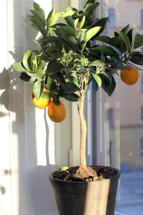 1000 ideas about lemon tree potted on patio fruit trees lemon tree plants and