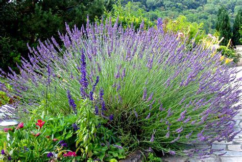 150 graines de lavande lavandula angustifolia x215 true lavender seeds semi ebay