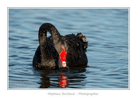 Cygne Noir (black Swan)  Photos De La Baie De Somme Et De