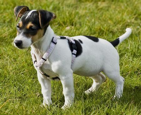rat terrier puppies rat terrier breeders rat terriers for