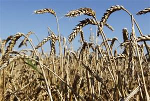 Scotland to outlaw cultivation of genetically modified crops