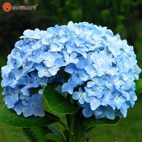 achetez en gros bleu hortensia en ligne 224 des grossistes bleu hortensia chinois aliexpress