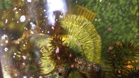 aquarium algues marron bac avec des algues probl 232 me d algues marrons dans l