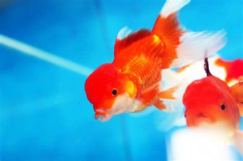 poissons eau froide 224 mons belgique arowana poissons d eau douce froide