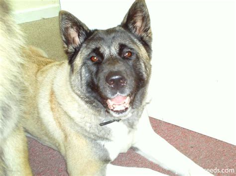 do akita dogs shed hair low shedding breeds low shedding list breeds
