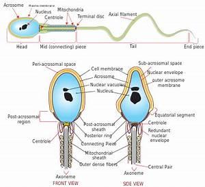 Spermatozoo - Wikipedia