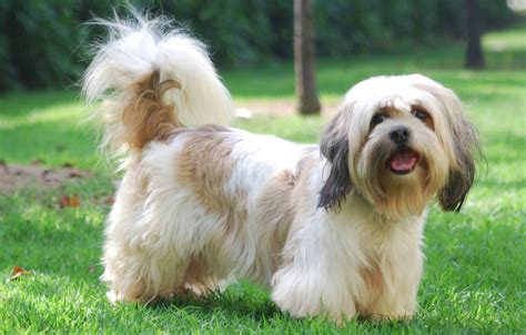 the breed lhasa happy homes