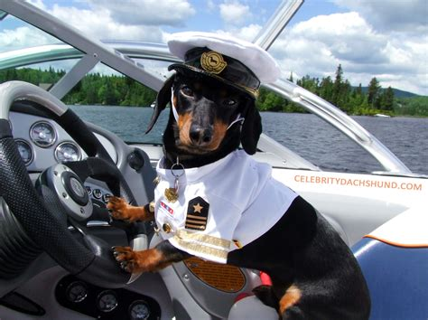 Boat Driving Dog by Introducing Captain Crusoe Crusoe The Celebrity Dachshund