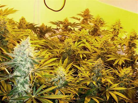 le froid dans la culture du cannabis du growshop alchimia
