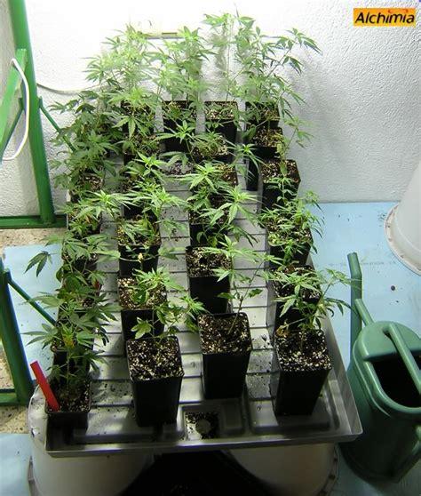 comment conserver pieds m 232 re de cannabis du growshop alchimia