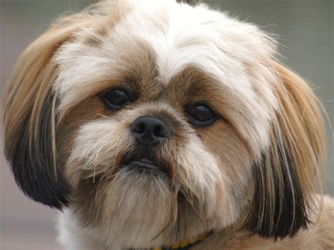 breed lhasa apso and miniature dachshund breeds picture
