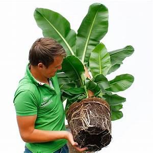 Was Bedeutet Pflegeleicht : gro e zimmerpflanzen kaufen 123zimmerpflanzen ~ Markanthonyermac.com Haus und Dekorationen