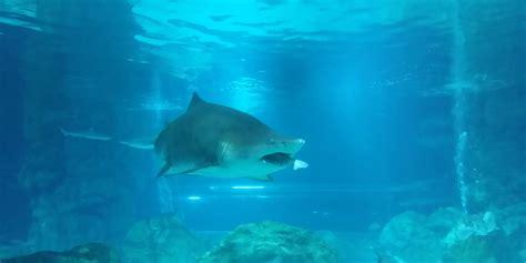 un requin en mange un autre dans un aquarium de s 233 oul