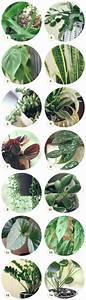 Best 25+ Chinese money plant ideas on Pinterest