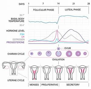 File:MenstrualCycle2 en.svg - Wikimedia Commons