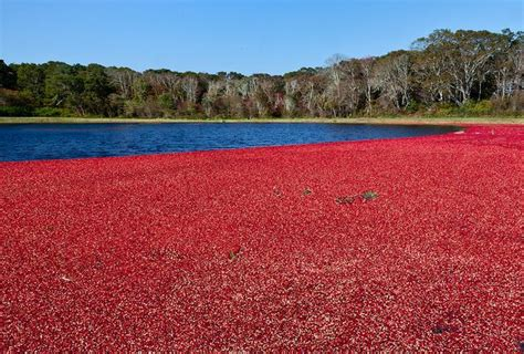 1000+ Images About Cranberry Bogs On Pinterest Pastel