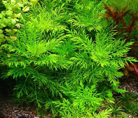 hygrophila difformis plante d aquarium en pot de diam 232 tre 5cm plantes d aquarium plantes