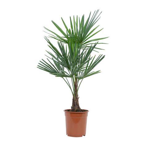 trachycarpus fortunei plante en pot ikea
