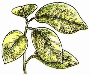 Lorbeer Gelbe Blätter : symptome und ursachen pflanzen gesund erhalten zimmerpflanzen zimmer und gartenblumen ~ Markanthonyermac.com Haus und Dekorationen