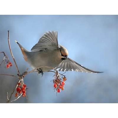 The Life of Sweet Birds: BOHEMIAN WAXWING