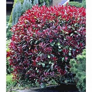 Immergrüne Winterharte Kübelpflanzen : photinia hecke 39 red robin 39 1 pflanze baldur garten gmbh garten pinterest ~ Markanthonyermac.com Haus und Dekorationen