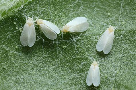 insectes et maladies des plantes de cannabis du growshop alchimia