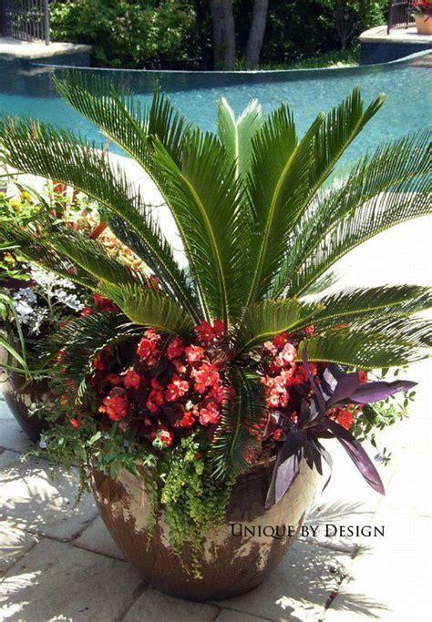 25 best ideas about sago palm on sago palm