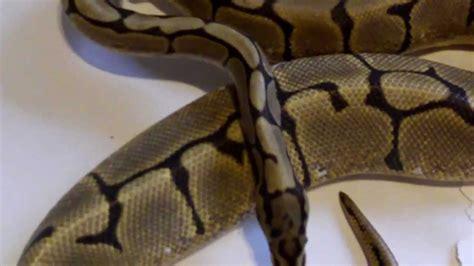python shedding signs signs of gravid python females